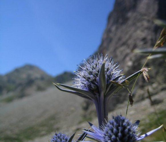 article_1607 Fleurs des Pyrénées_BG_11a